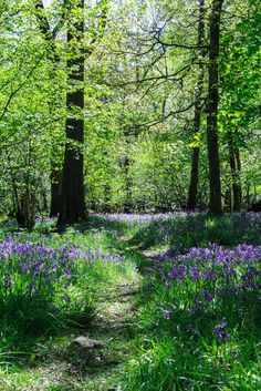 Grasmere bluebell woods, Cumbria, England by Aidan Mincher