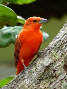 Foto sanhaçu-de-fogo (Piranga flava) por André Adeodato | Wiki Aves - A Enciclopédia das Aves do Brasil