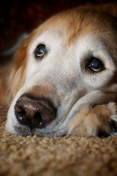 Such a sweet, kind, old face. Golden retriever.
