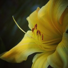 Yellow Daylily #flowers #yellowflowers #daylily #hemerocallis #plants #garden #gardenersnotebook #nature #outdoors #yellow