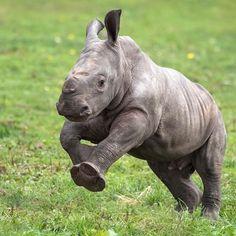 Our baby rhino is full of energy! Have you seen her charging around her paddock yet? #WMSP #BabyRhino #WhiteRhino #Cute #BabyAnimals #Wildlife #Nature #SafariPark#love##SavetheRhino