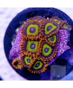 "Zoanthus sp. - DR ""Fruit Loops"" Zoanthids -1"" WYSIWYG Frag - CORAL"