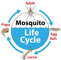 To ensure that you successfully get rid of all mosquitoes in your yard, you should also get rid of their larvae. Read on to learn how and why! Mosquito Life Cycle, Mosquito Larvae, Mosquito Control, Life Cycles, Google Images, Cycling, Content, Learning, Mosquitoes