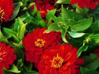 In this HGTV Gardens feature, learn why zinnia flowers are among the easiest annuals to grow.