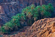 a family of palms by Homoud Aluhaidan on 500px