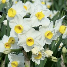 A real winner for any garden! Multi-headed little white flowers with delicate primrose yellow cups. Flowers over a long period & is beautifully scented.