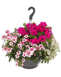 Kesäkukka-amppeli Pink Lights Lights, Garden, Plants, Pink, Highlight, Garten, Lighting, Flora, Plant