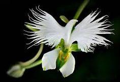 Resultado de imagem para a orquidea mais rara do mundo