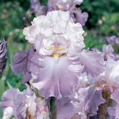 Mother Earth German Iris. Rebloomer3