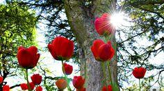 spring season tulips ohio x wallpaper High Quality