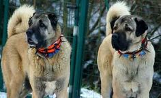 The real kangal dog's
