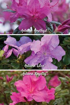 How To Choose Encore Azalea Color Patterns