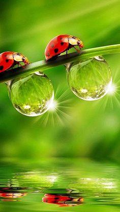 Ladybugs and dewdropsGod can make great creatures, just like the tiny details on this little ladybug Beautiful Bugs, Amazing Nature, Beautiful World, Macro Photography, Animal Photography, Amazing Photography, Beautiful Creatures, Animals Beautiful, Cute Animals