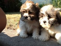This is going to be the next dog i get. Inside dog for my girls. Bichon Shih Tzu (teddy Bear) Puppies