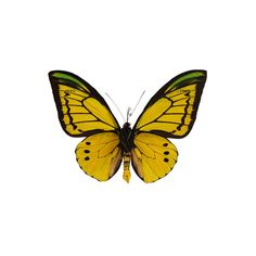 Ornithoptera goliath supremus - Underside, Goliath Birdwing (5.750 ARS) ❤ liked on Polyvore featuring butterflies, animals, fillers, insects and nature