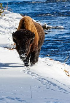 Bison by the Madison River, Yellowstone National Park, Wyoming, USA Farm Animals, Animals And Pets, Cute Animals, Wildlife Photography, Animal Photography, Beautiful Creatures, Animals Beautiful, Buffalo Animal, Musk Ox