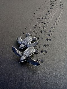 Rosalie Bay's black sand beach is home to annual nests of green, hawksbill and leatherback turtles. Guests can be awakened to assist in late-night collection of data on the turtles. Photo: Marine Creatures