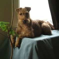 Quigley the Irish Terrier
