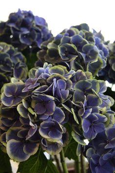 hydrangea mars blue: ᘡℓvᘠ❉ღϠ₡ღ✻↞❁✦彡●⊱❊⊰✦❁ ڿڰۣ❁ ℓα-ℓα-ℓα вσηηє νιє ♡༺✿༻♡·✳︎· ❀‿ ❀ ·✳︎· TUE NOV 08, 2016 ✨ gυяυ ✤ॐ ✧⚜✧ ❦♥⭐♢∘❃♦♡❊ нανє α ηι¢є ∂αу ❊ღ༺✿༻✨♥♫ ~*~ ♪ ♥✫❁✦⊱❊⊰●彡✦❁↠ ஜℓvஜ