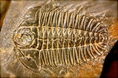 I am a hunter & collector of Fossils- Marine & otherwise... Fossilized Trilobite Skeloton by Burgess Shale Geoscience Foundation, via Flickr
