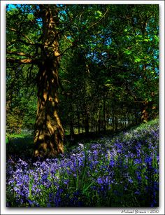 Roseberry Topping Bluebell Woods by Michael Brewis (Northumbrian Blue), via Flickr