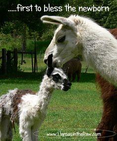 newborn llama blessing www.llamasintheraw.com