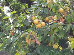 Cachi Kaki coltivazione