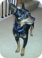 Florissant, MO - Miniature Pinscher. Meet Cooper, a dog for adoption. http://www.adoptapet.com/pet/9948359-florissant-missouri-miniature-pinscher