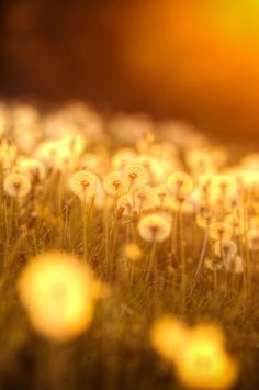 Beautiful field of dandelions illuminated by the setting sun.