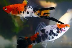 1000 Images About Fresh Water Fish On Pinterest Fresh