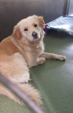 INDIA (A1676467) I am a female tan and white Golden Retriever mix. The shelter staff think I am about 3 years old. I was found as a stray and I may be available for adoption on 02/04/2015. — hier: Miami Dade County Animal Services. https://www.facebook.com/urgentdogsofmiami/photos/pb.191859757515102.-2207520000.1422816461./920831414617929/?type=3&theater