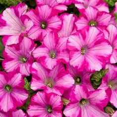 Proven Winners - Supertunia® Raspberry Blast® - Petunia hybrid pink plant details, information and resources. Fall Plants, Garden Plants, Potted Plants, Pink Flowers, Beautiful Flowers, Stunningly Beautiful, Petunia Plant, Growing Raspberries, Pink Plant
