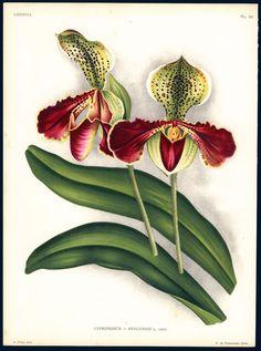Jean Jules Linden 1885 Linden Lindenua Orchid Cypripedium