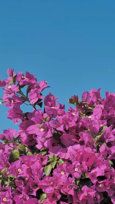 Pink flowers wave in the breeze