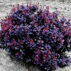 H x shrub for colour sun or semi shade Concorde Barberry Bush -- this variety, three in a row leading up to front porch Garden Shrubs, Landscaping Plants, Front Yard Landscaping, Shade Garden, Garden Plants, Fall Plants, Foliage Plants, Gardens, Fine Art