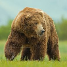 In Katmai National Park, Alaska, these grizzly bears are called brown bears.