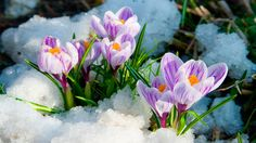 Flowers purple crocus in the snow, spring landscape by Elena Blokhina, via ShutterStock Spring Flowers Wallpaper, Flower Wallpaper, Beautiful Nature Spring, Beautiful Flowers, Amazing Nature, Spring Plants, Spring Garden, Spring Blooms, Flower Images