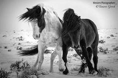 Dappere paarden vechtend in de winter.