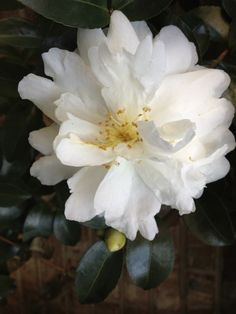 "Camelia Sasanqua ""Mine Noyuki."" Fall heavy bloomer into early winter."