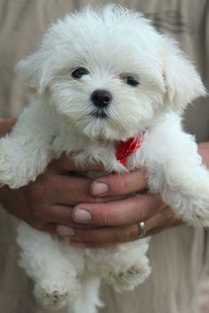 Beautiful bright white Maltese male with such a pretty teddy bear face.