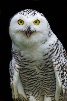 https://flic.kr/p/dWgYqs | Snowy owl looking at me with open mouth | I really like this snowy owl portrait! She was looking kind of astonished at me! ;)