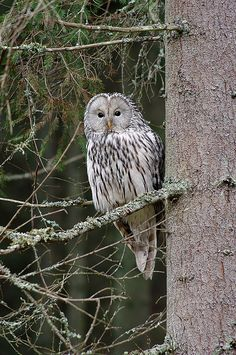 Strix uralensis (Ural Owl, Uralinė pelėda) | Flickr - Photo Sharing!