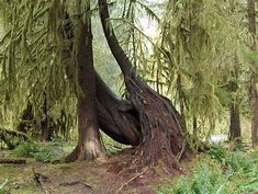 Image detail for -File:Hoh rain forest trees.jpg - Wikipedia, the free encyclopedia Mother Earth, Mother Nature, Rainforest Trees, Tree Map, Forest Habitat, Unique Trees, Trees Beautiful, Native Plants, Tree Of Life