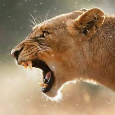 . Lioness in a rainstorm. Photography by © (Johan Swanepoel). Wet Lioness (Panthera leo) displays dangerous teeth when she yawns in the rain. Kruger National Park (South Africa). #wildlife #Lioness #yawns #teeth #Kruger