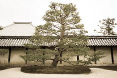 Kyoto   Pine Tree of the Tenryu temple  by 加藤 準弥