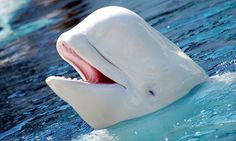 Everything was going swimmingly at the Navy Marine Mammal Program when all of a sudden, one of the supervisors was being impersonated... by a beluga whale.
