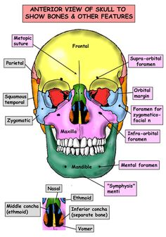 Instant Anatomy - Head and Neck - Areas/Organs - Skull - Anterior view of skull