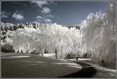 Weeping Willows by geckonia Weeping Willow, Willow Tree, Calming Images, Infrared Photography, I Love Snow, Tree Carving, Winter Pictures, Growing Tree, Nature Photos