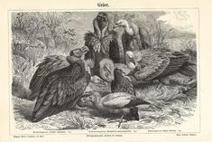 1890 Old World Vultures, Griffon Vulture, Egyptian Vulture, Black Vulture Original Antique Engraving Ferrari, Vulture, Antique Prints, Bird Prints, Decoration, Poster Size Prints, Old World, Egyptian, Illustration