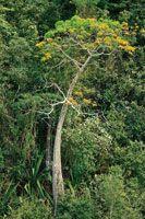 La bonga o majagua es un árbol característico del bosque seco tropical y se destaca por la forma abultada de su tronco.